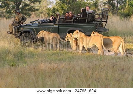 Nelspruit, South Africa, June 05, 2012, Pride Of African Lions Spotted By Tourists On Safari On A So