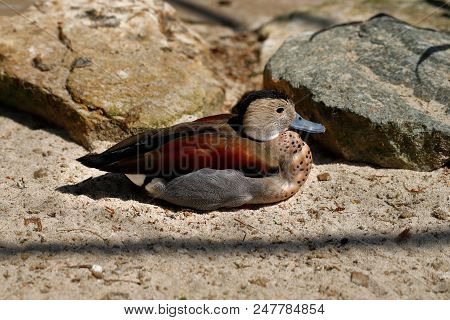 Full Body Of Male Ringed Teal Duck. Photography Of Nature And Wildlife.