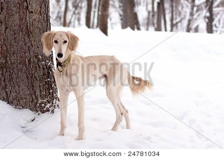 A white saliki pup in a winter park poster