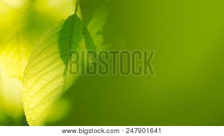 Fresh Spring Green Leaves among Blurred Bright Background