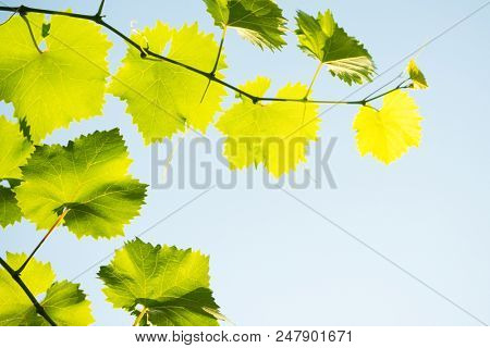 Young Grape Vine on the Blue Sky Background in Bright Sun Rays
