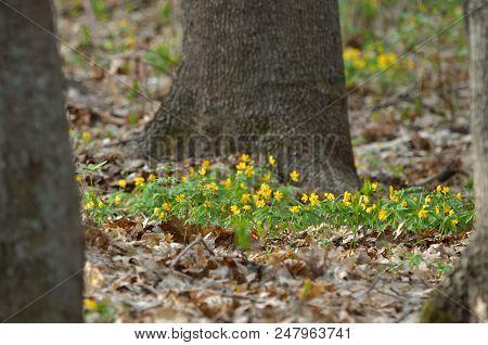 Anemone Ranunculoides Blooming In Forest. Wild Flora Of Ukraine.