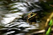 green frog on a surface of water poster