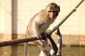 Crab-eating monkey or Long-tailed Macaque in tropical rain forest park is on bridge rope poster