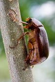 June Bug - also known as May Beetle poster