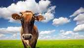 Brown cow standing on a green meadow and looking to a camera poster