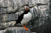A puffin stands alone looking off into the distance. poster