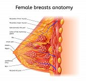 Human Female Breast Anatomy Detailed Vector Scheme with Labels in Cross Section View. Medical Infographic Chart, Human Physiology Illustration, Scientific Diagram with Human Organ Internal Structure poster