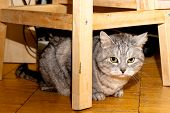 A grey tabby cat sitting under a chair on wooden floor poster