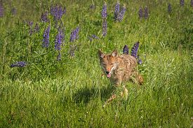 Coyote (canis Latrans) Trots Forward In Lupine Field - Captive Animal