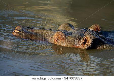hippopotamus swimming in thr river in wild nature