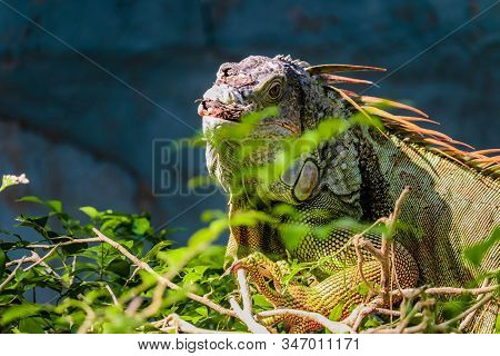Green Iguana Also Known As The American Iguana Is A Lizard Reptile In The Genus Iguana In The Iguana