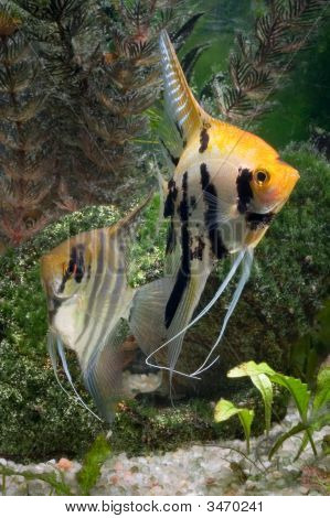 Two Angelfish