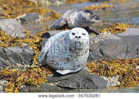 Nice Silver Grey Spotted Seal  Taking A Sun Bath,  Coast Of Katmai, Alaska