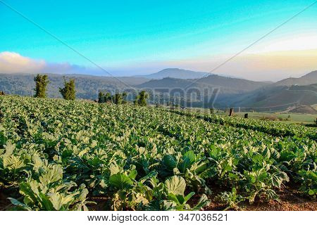 Organic Fresh Vegetables And Beautiful Mountain Tops,hill And Cabbage Grown,organic Vegetables Grown