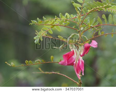 Sesbania Grandiflora, Red Flower On Cork Wood Tree, Small Perennials Of The Family Sesbania, Fabacea