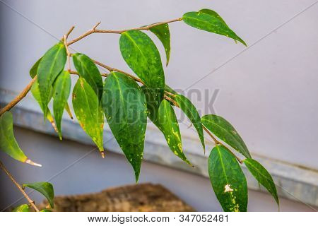 Leaves Of The Dapania Pentandra, Believed To Be Extinct In The Wild And Last Specie On Earth, Extinc
