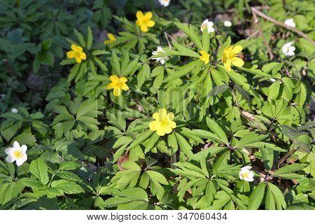 Blossom Background: Yellow Anemone Ranunculoides And White Anemone Nemorosa