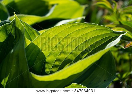 Big Leaves Hosta. The Morning Sun Shines Through The Green Leaves Of The Hosta. The Concept Of Green