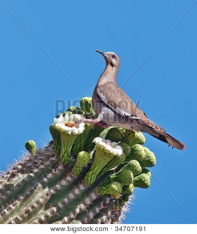 White-winged Dove (Zenaida asiatica) perched on Saguaro cactus in the Arizona desert poster