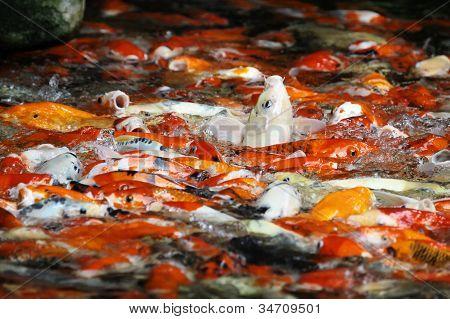 Hundreds of fancy carp koi fish eating poster