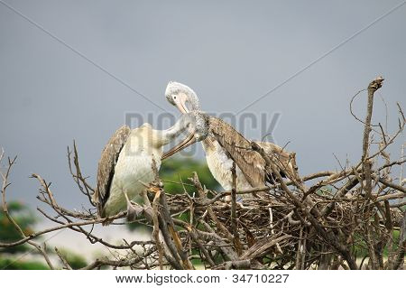 Pair Pelican on tree dry with cote poster