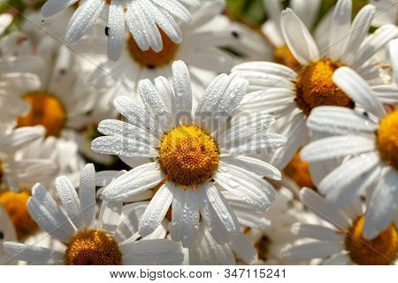 Large Daisies (oxeye) Flower Group With Morning Dew Water Drops. Nature Background In Spring