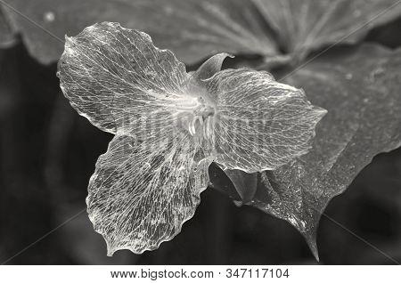 Black And White Photo Of A Transparent White Trillium (trillium Grandiflorum) Taken On A Damp Spring