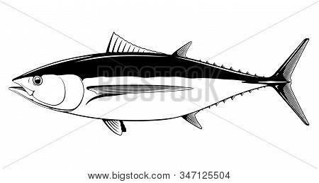 Albacore Tuna Fish In Side View In Black And White Isolated Illustration, Realistic Sea Fish Illustr