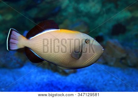 Melichthys Indicus - Indian Triggerfish In Sea Water