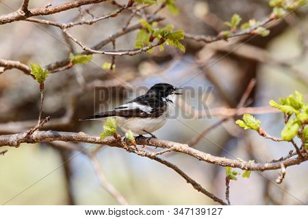 European Pied Flycatcher Ficedula Hypoleuca Male Sitting On Branch Of Tree In Spring And Singing. Cu