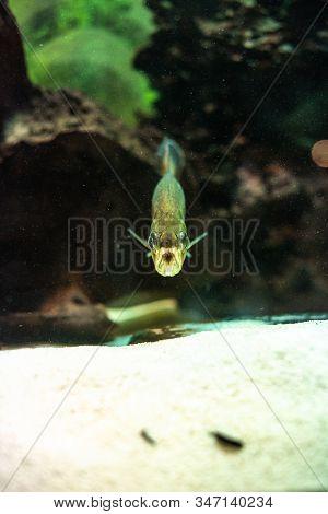 Pygocentrus Nattereri Piranha Closeup In The Aquarium Frontal View Eel Carnivore Evil Dark Aquarium