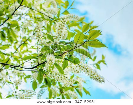 Bird Cherry (prunus Padus, Hackberry, Hagberry Or Mayday Tree). Closeup Of Bird Cherry Tree Branch O
