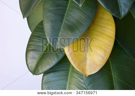 Yellow Wilted Leaf On Green Rubber Ficus Plant (ficus Elastica, Assam Rubber, Indian Rubber Tree), H
