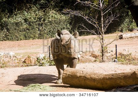 Rhino Looking To Left By Log