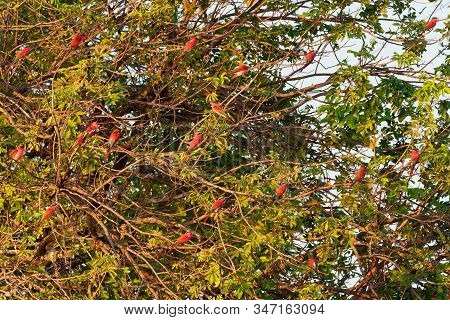 The Flock Of Beautiful Red Birds Perching In The Tree - Southern Carmine Bee-eater - Merops Nubicus
