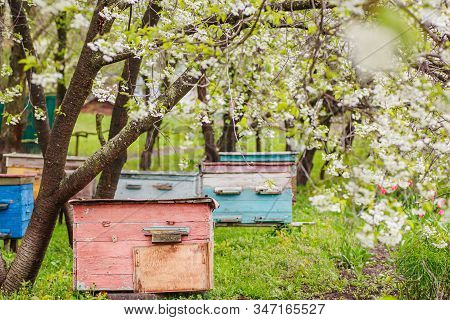 Pink Single-hull Ediary Is Given On Apiary In Spring. Hives In Flowering Garden In Ukraine In April.