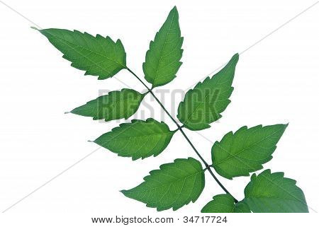 Green Chinese Trumpet Creeper Leaves