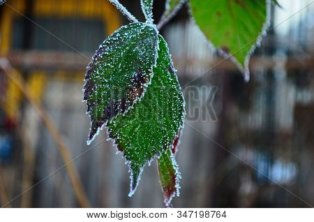 Branch Covered In Ice Cold White Frost In The Winter. First Frosts, Cold Weather, Frozen Water, Fros