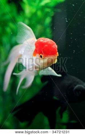 Red Cap Oranda And A Black Moor Goldfish At Background