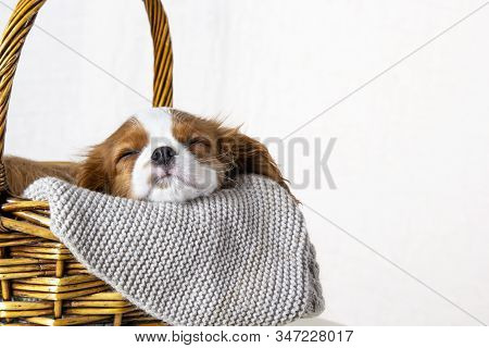 Cute Puppy Sleeping In Basket On White Background. Dog Purebred Cavalier King Charles Spaniel, Close