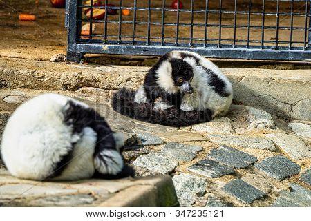 Black And White Ruffed Lemur, Varecia Variegata In Jerez De La Frontera, Andalusia In Spain