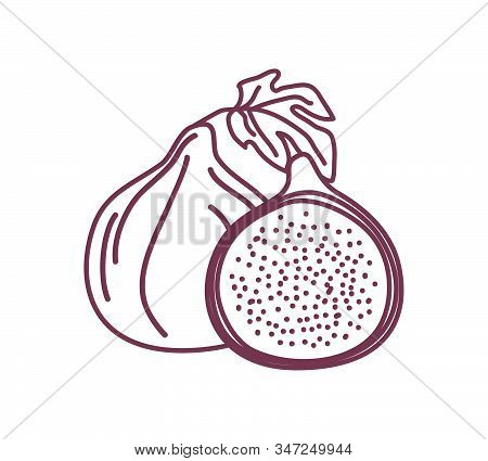 Two Isolated Figs Outline Design Vector Illustration Sketch. One Whole And One Half Fresh Fig Fruits