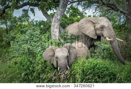 Elephants In Kruger National Park, South Africa.