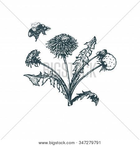 Bumblebee Above Dandelion Flower, Hand Drawn Illustration. Sketch In Ve