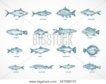 Hand Drawn Ocean Or Sea And River Fish Illustration Bundle. A Collection Of Salmon And Tuna Or Pike