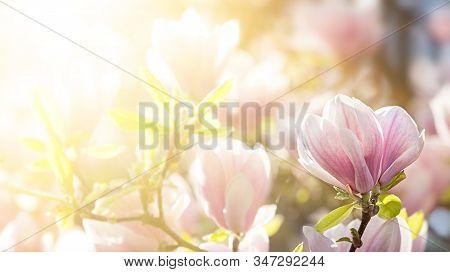 Magnolia Tree Blossom In Springtime. Natural Spring Background.