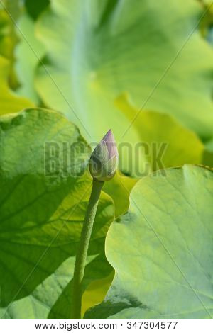 Sacred Lotus Flower Bud - Latin Name - Nelumbo Nucifera