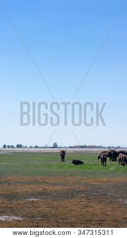 Aurochs Stand In The Field In The Hortobagy National Park In Hungary