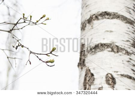 Spring, Birch Buds Bloom. Birch Branches On A White Sky With Large Beautiful Buds. Early Spring Gree